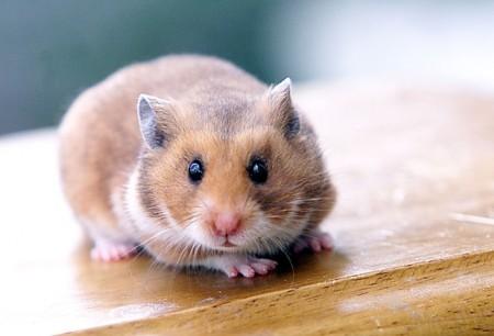 hamster-teacher